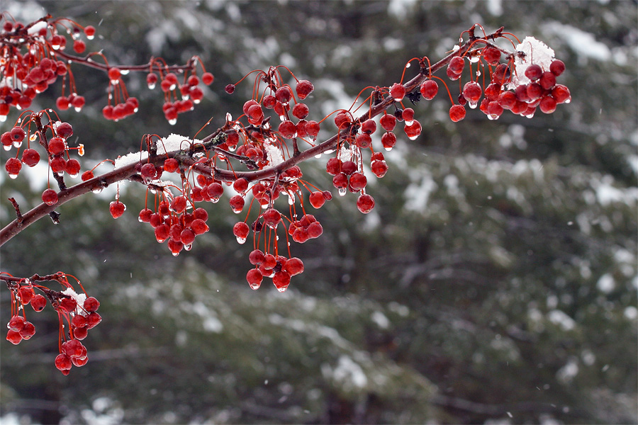 winter-berries-1