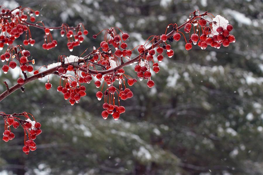 winter-berries-1